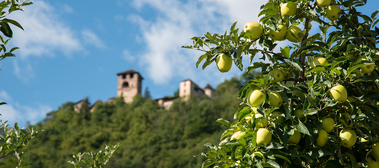 The castle above Nalles blurred in the background and a detailed view of an apple tree full of fruits